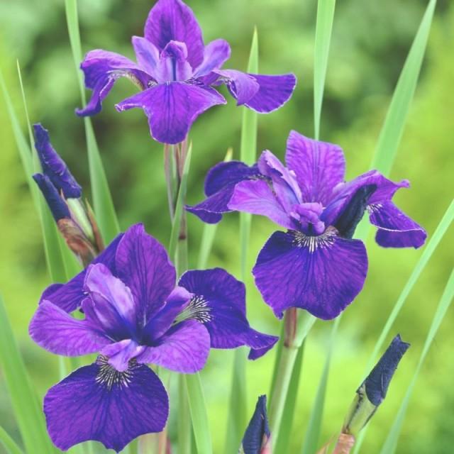 Cremă antirid cu iris siberian si celule stem Herbal Care 50 ml